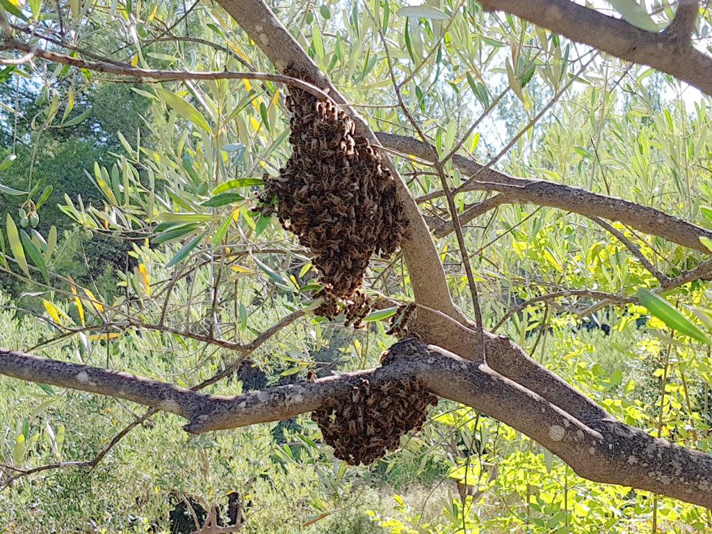 naissain abeille grappe olivier